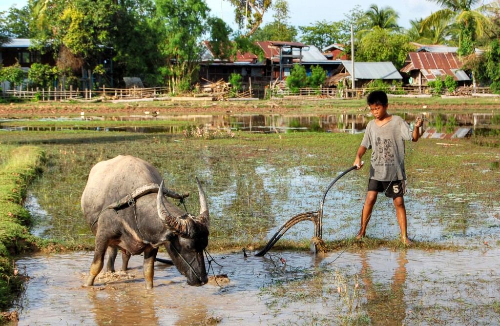 Child_and_ox_ploughing,_Laos