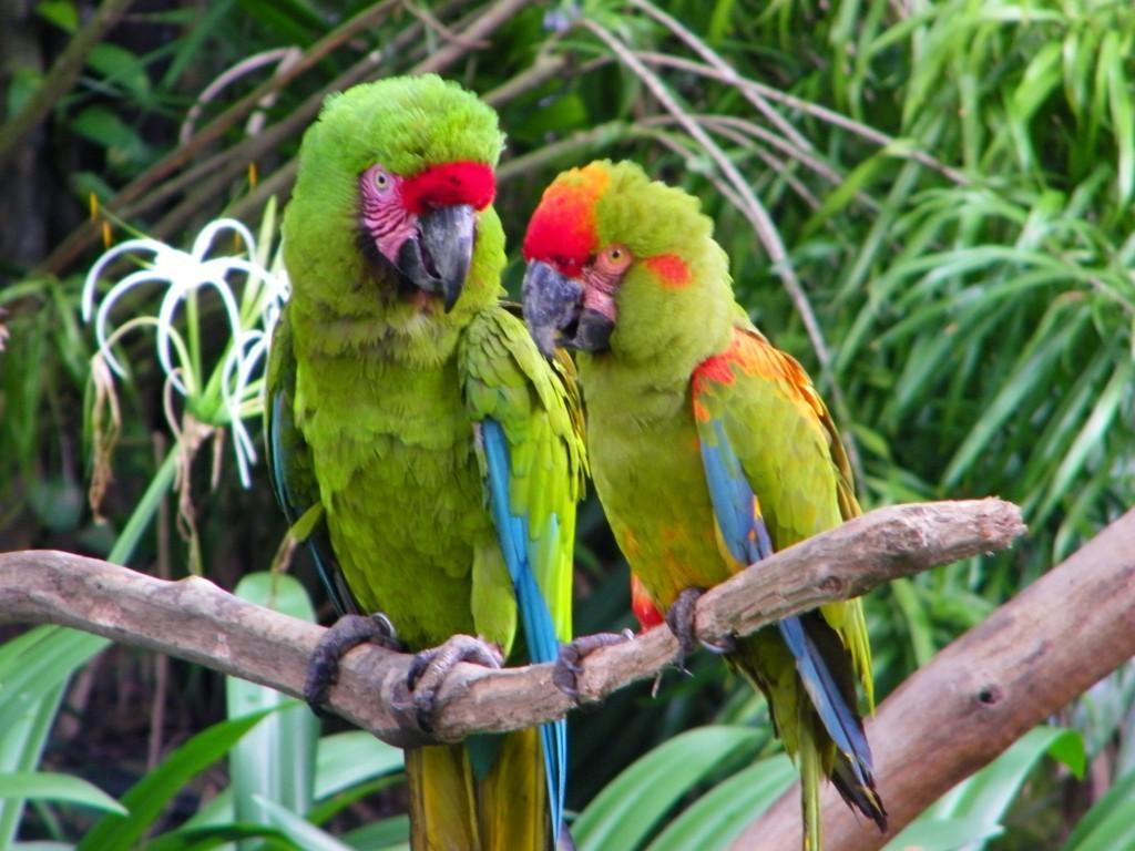 Ara_macaws_-Jurong_Bird_Park