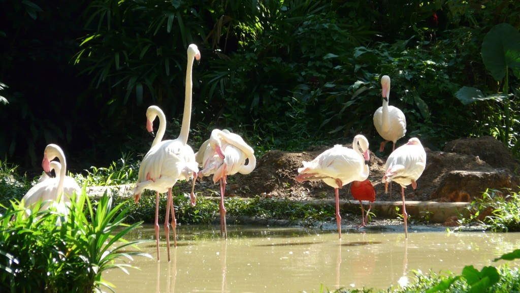 Flamingo_singapore_zoo