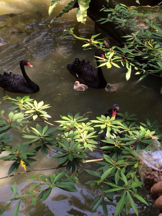 Ресторан Черный лебедь в Паттайе